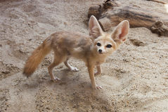 Cape fox (Vulpes chama). Also called the cama fox or the silver-backed fox on the desert stock image