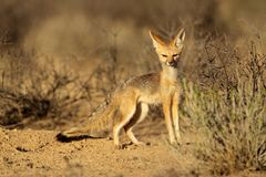 Cape fox Royalty Free Stock Images