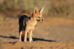 Cape fox in natural habitat. Cape fox Vulpes chama in natural habitat, Kalahari desert, South Africa Stock Images