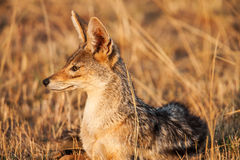 Cape fox (Vulpes chama) resting in front of burrow, Kalahari, South Africa Royalty Free Stock Images