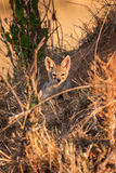 Cape fox (Vulpes chama) resting in front of burrow, Kalahari, South Africa Stock Photos