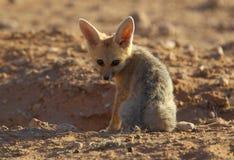 Cape Fox. A young cape fox at den early morning Stock Photos