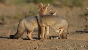 Cape foxes Royalty Free Stock Photos