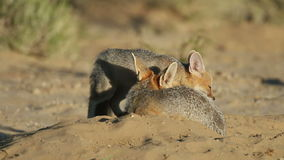 Cape foxes Stock Image