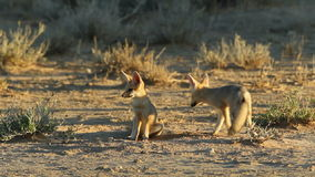 Cape foxes. Cute Cape foxes (Vulpes chama) at their den, Kalahari desert, South Africa stock footage