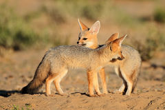 Cape foxes Stock Photography