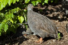 Cape francolin Stock Image