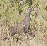 Cape Francolin Royalty Free Stock Photos