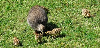 Cape Francolin with chicks Royalty Free Stock Photos