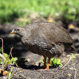 Cape Francolin (Francolinus capensis) Royalty Free Stock Images