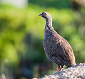 Cape Francolin near rail Royalty Free Stock Photo