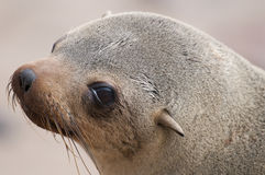 Cape fur seal. The fur seal,Arctocephalus pusillus, is a large seal species from southern Africa. it lives along the Sout African,Namibian,Angolan coasts Royalty Free Stock Image