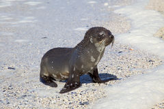 Cape Fur Seal Stock Image