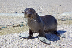 Cape Fur Seal Stock Photos