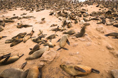 Cape fur seal. Colony, Cape Cross, Namibia stock images