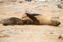 Cape Fur seal Stock Photography