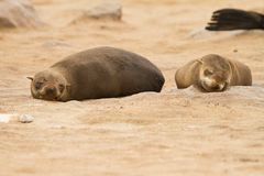 Cape Fur seal royalty free stock images