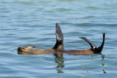 Cape Fur Seal. In water Royalty Free Stock Photo