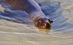 Cape Fur Seal... Royalty Free Stock Photography