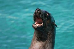 Cape fur seal. Barking and showing its teeth royalty free stock image