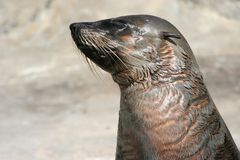 Cape fur seal. Sleepy cape fur seal portrait Royalty Free Stock Image