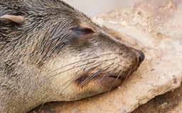 Cape fur seal (Arctocephalus pusillus) Stock Photo