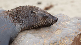 Cape fur seal (Arctocephalus pusillus) Royalty Free Stock Image
