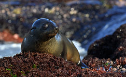 Cape fur seal (Arctocephalus pusillus pusillus) Royalty Free Stock Photos