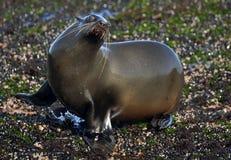 Cape fur seal (Arctocephalus pusillus pusillus) Stock Images