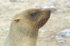 Cape fur seal, Arctocephalus pusillus Stock Photos