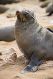 Cape fur seal at Cape Cross, Namibia. Portrait of a Cape fur seal photographed at Cape Cross seal colony on the Skeleton Coast in Namibia stock photos