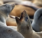 Cape Fur Seal - Cape Cross - Namibia royalty free stock image