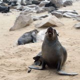 Cape fur seal on the Cape Cross, Namibia Royalty Free Stock Photos