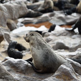 Cape fur seal on the Cape Cross, Namibia Royalty Free Stock Image