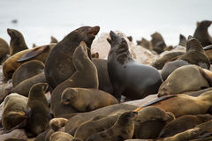 Cape fur seal colony. Cape Cross, Namibia royalty free stock image