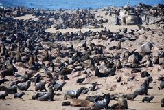 Cape fur seal colony. Cape Cross, Skeleton Coast,  Stock Image
