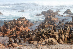 Cape Fur Seal colony Royalty Free Stock Photography