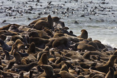 Cape Fur Seal Colony in Namibia. Cape Fur Seal Colony (Arctocephalus pusillus) at Cape Cross on the Skeleton Coast of Namibia in Southern Africa stock photo