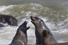 Cape Fur Seal Colony in Namibia Stock Photo