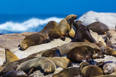 Cape fur seal colony, South Africa. Cape fur seal colony Arctocephalus pusillus, also known as Brown fur seal. South Africa, Duiker Island Seal Island near Hout Royalty Free Stock Photo