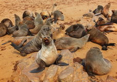 Cape Fur Seal. Colony of South African fur seals at Cape Cross, Namibia Royalty Free Stock Photo