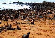 Cape Fur Seal. Colony of South African fur seals at Cape Cross, Namibia Stock Photography