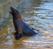 A Cape fur seal coming out of the water stock photography