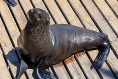 Cape fur seal enjoying sun on wooden jetty in the city Cape Town, South Africa, Victoria and Alfred Waterfront area. Arctocephalus pusilus stock photos