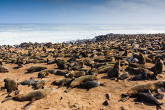 Cape fur seal gathering beach Cape Cross. Cape fur seal gathering. They lie and rest on beach of Cape cross. Rough atlantic ocean Namibia Africa royalty free stock photo