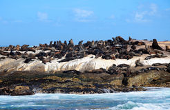 Cape Fur Seal at Hout Bay. A big group of Cape Fur Seal at Seal island, Hout bay harbor, Cape Town Stock Image