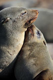Cape fur seal mother and young, Skeleton Coast Stock Photography