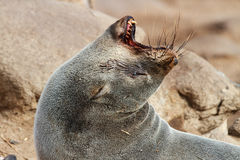 Cape Fur Seal royalty free stock photo