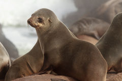Cape Fur Seal. At Namaqua National Park - South Africa royalty free stock photos