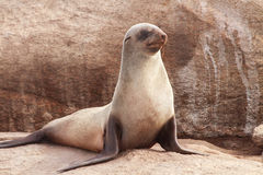 Cape Fur Seal. At Namaqua National Park - South Africa royalty free stock photo